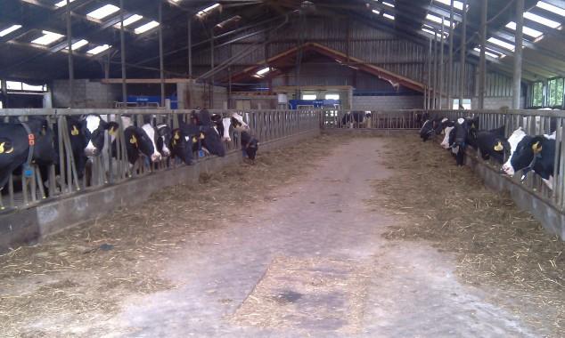 Koeien in de schuur